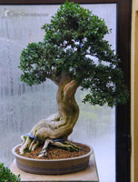 bonsai pot 10