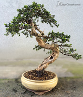 bonsai pot 11