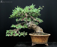 bonsai pot 16