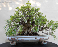 bonsai pot 17