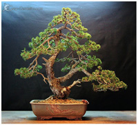 bonsai pot 19