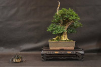 bonsai pot 2