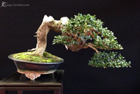 bonsai pot 20