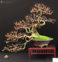 bonsai pot 21