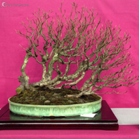 bonsai pot 27
