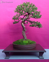 bonsai pot 28