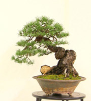 bonsai pot 3