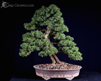 bonsai pot 30