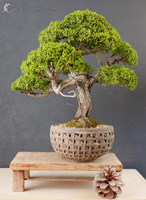 bonsai pot 31
