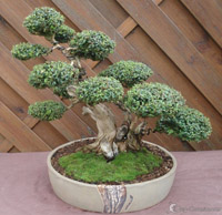 bonsai pot 34