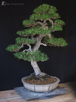 bonsai pot 38