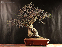 bonsai pot 41