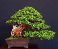 bonsai pot 5