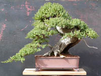 bonsai pot 50