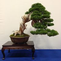 bonsai pot 51