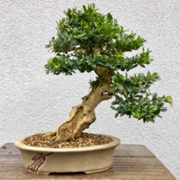 bonsai pot 59