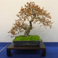 bonsai pot 62