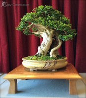 bonsai pot 9